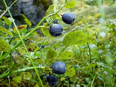 Photo Blueberries Food