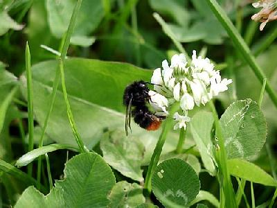 Photo Humble Bee Insect