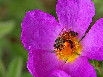 Photo Bee And Pollen Insect