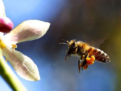 Photo Bee Pollen Insect