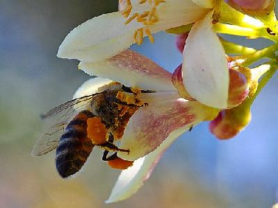 Photo Bee Pollen 5 Insect