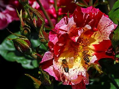 Photo Bees And Roses Insect