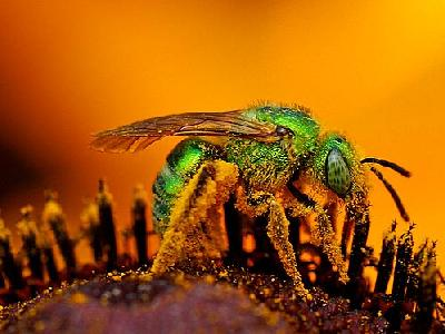 Photo Green Sweat Bee Insect