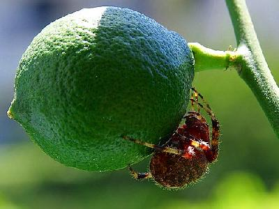 Photo Lime Spider Insect