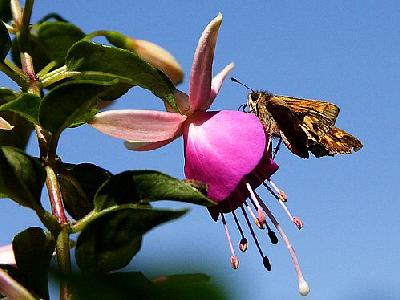 Photo Moth And Fuchsia Insect