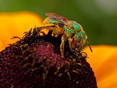 Photo Pollen And Sweat Bees Insect