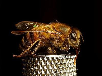Photo Furry Bees Insect