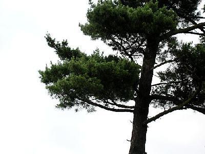 Photo Pine 2 Landscape
