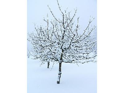 Photo Fruit Tree In Winter Clothing Landscape