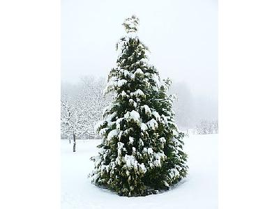 Photo Snow On Cypress Tree Landscape