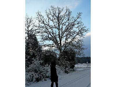 Photo Snowy Oak Tree Landscape
