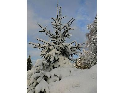 Photo Snowy Spruce Tree Landscape