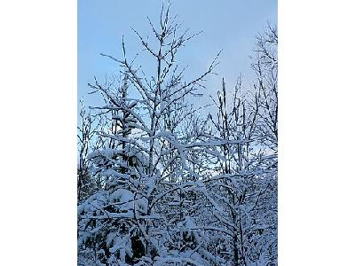 Photo Snowy Trees Landscape