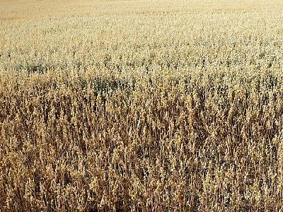 Photo Oats Field Landscape