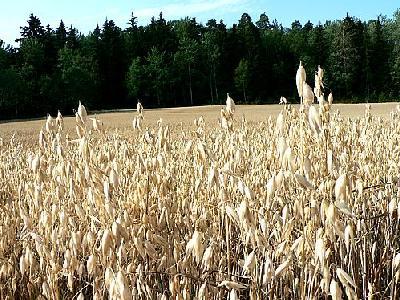 Photo Oats Field 2 Landscape