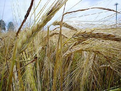 Photo Rye 2 Landscape