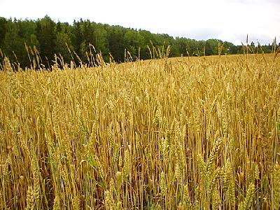 Photo Wheat 3 Landscape