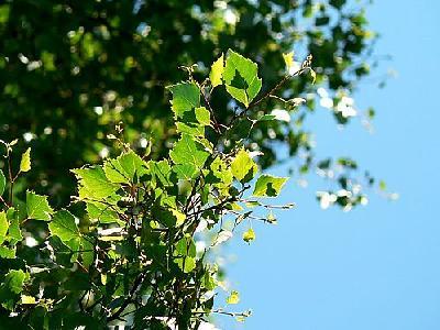 Photo Birch Leaves 5 Plant