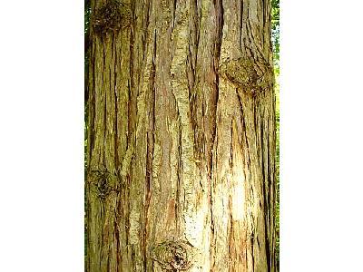 Photo Cedar Bark Plant