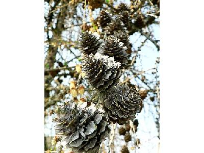 Photo European Larch Cones Plant