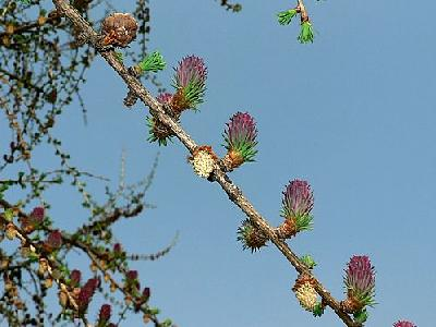 Photo Flowering Larch Plant