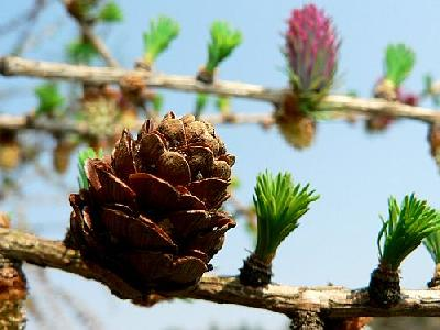 Photo Flowering Larch 2 Plant