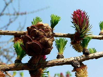 Photo Flowering Larch 3 Plant