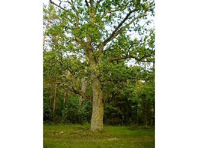 Photo Oak Tree Plant