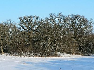 Photo Oak Trees A Clear Winter Day Plant