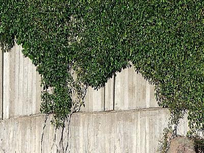 Photo Plants Climbing Concrete Wall Plant