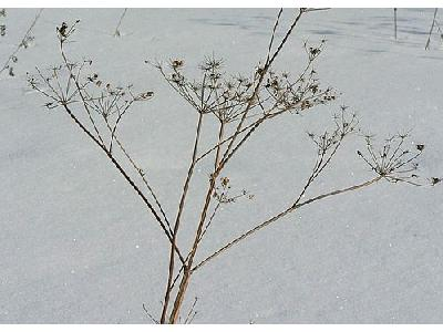 Photo Withered Plant In Winter Plant