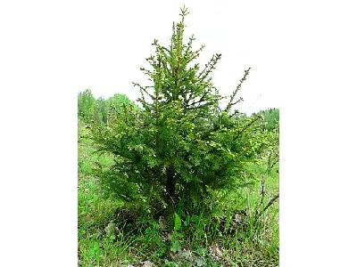 Photo Young Spruce Plant