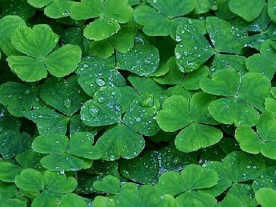 Photo Clover Plant