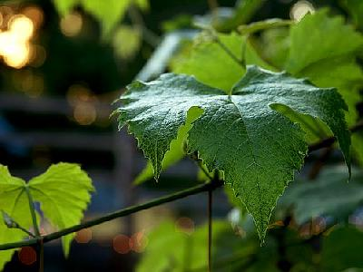 Photo Grape Leaf Plant