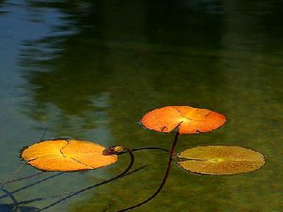 Photo Lotus Plant