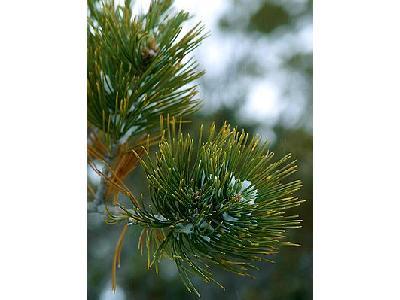 Photo Pine Plant
