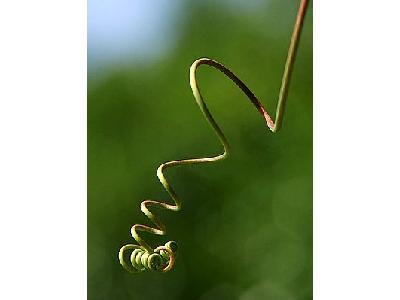 Photo Vines Plant