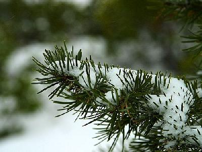 Photo Winter Pines Plant