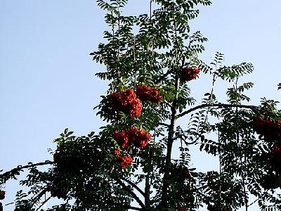 Photo Rowanberry Plant