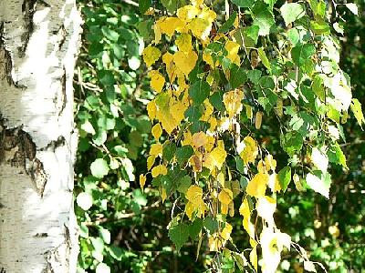 Photo Birch Leaves 2 Plant