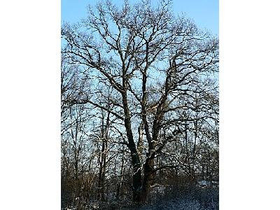 Photo Oak Tree In Winter Plant