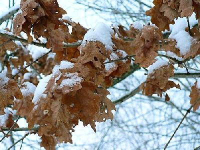 Photo Winter Oak Leaves Plant