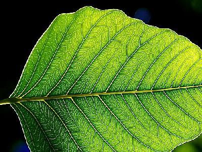 Photo Leaf 3 Plant