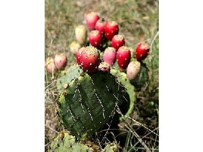 Photo Prickly Pear Cactus Plant