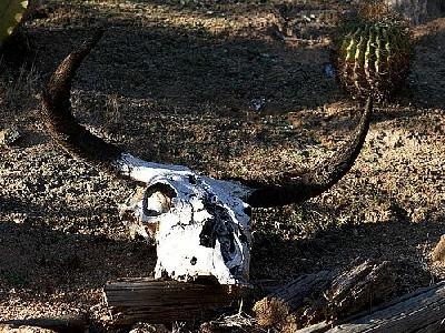 Photo Cow Skull 2 Other