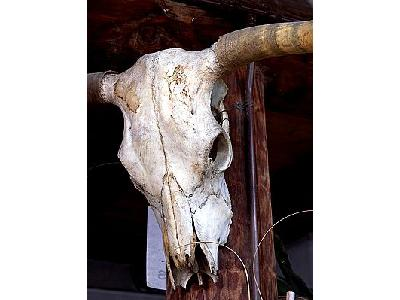 Photo Cow Skull Other