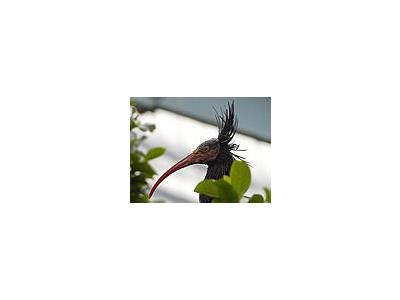 Photo Small Ibis Animal