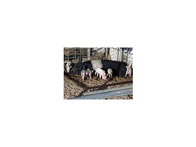 Photo Small Little Piggies Animal