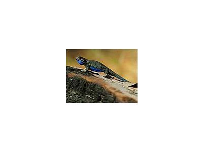 Photo Small Lizard 3 Animal