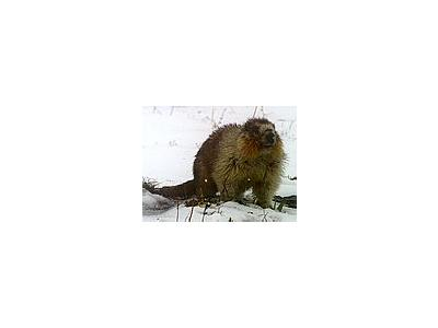 Photo Small Marmot Animal